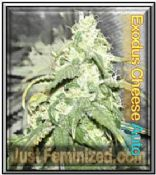 Automatic Cheese feminised marijuana strain For Sale Online